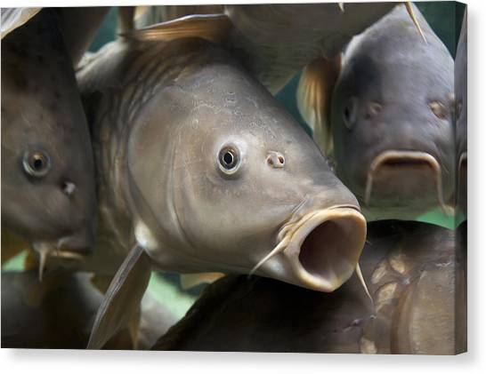 Angling Canvas Print - Carp by Jane Rix