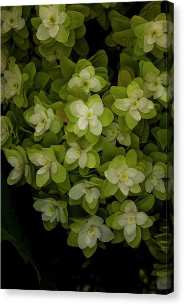 Cascading White Blossoms 2 Canvas Print by Greg  Plachta