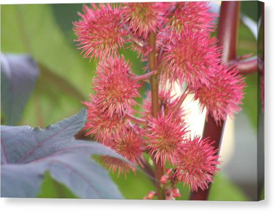 Castor Bean Flowers Canvas Print