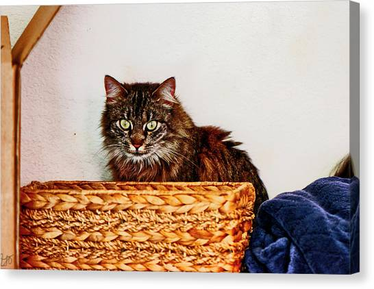 Main Coons Canvas Print - Cat Behind A Basket by Gina O'Brien
