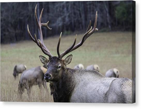 Cataloochee Elk Canvas Print