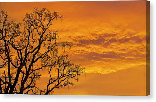 Catalpa Tree Sunrise Canvas Print