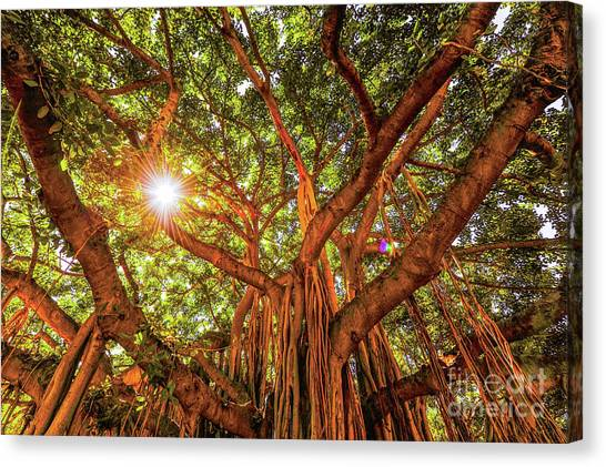 Canvas Print featuring the photograph Catch A Sunbeam Under The Banyan Tree by D Davila