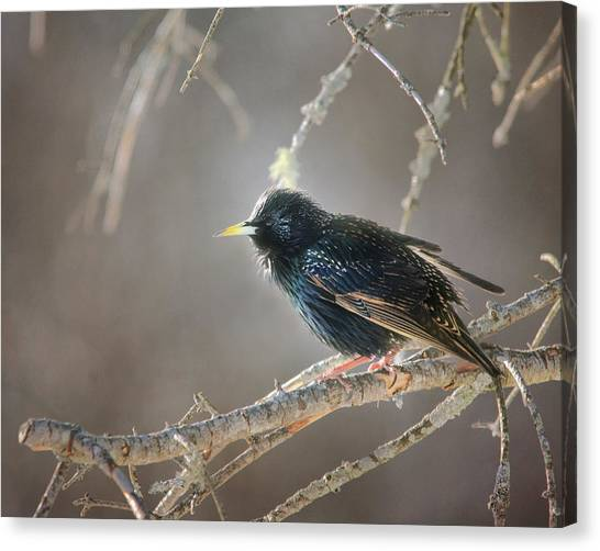 Starlings Canvas Print - Catch The Morning Light by Susan Capuano