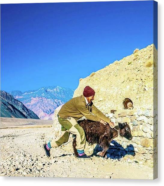 Yaks Canvas Print - Catching A Yak by Aleck Cartwright