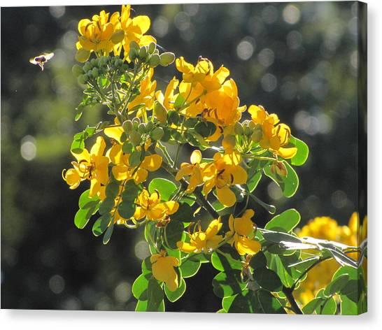 Catchlight Bee Over Yellow Blooms Canvas Print