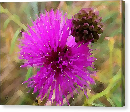 Catclaw Pink Mimosa  Canvas Print