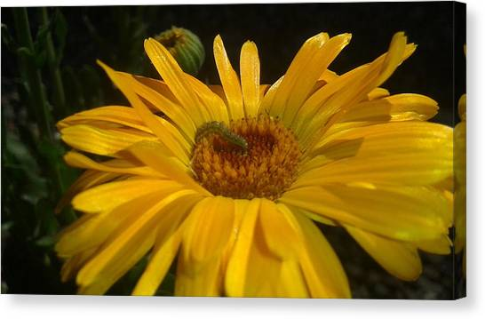 Caterpillers Canvas Print - Caterpillar On A Cosmos by William Goodson