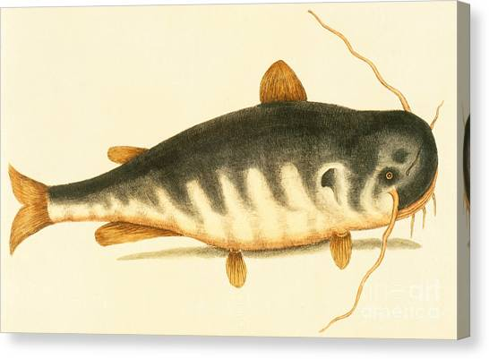 Catfish Canvas Print - Catfish by Mark Catesby