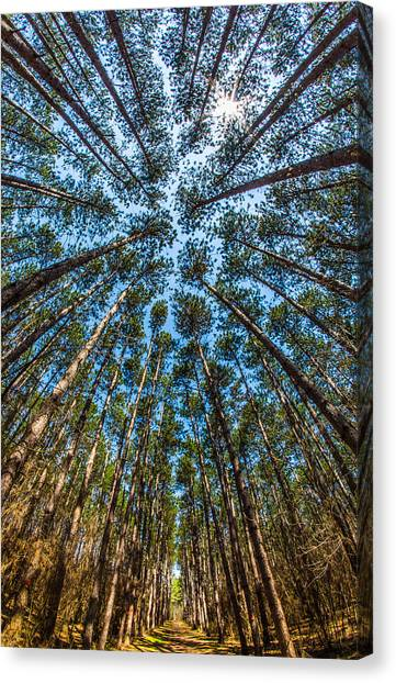 Cathedral In The Pines Canvas Print