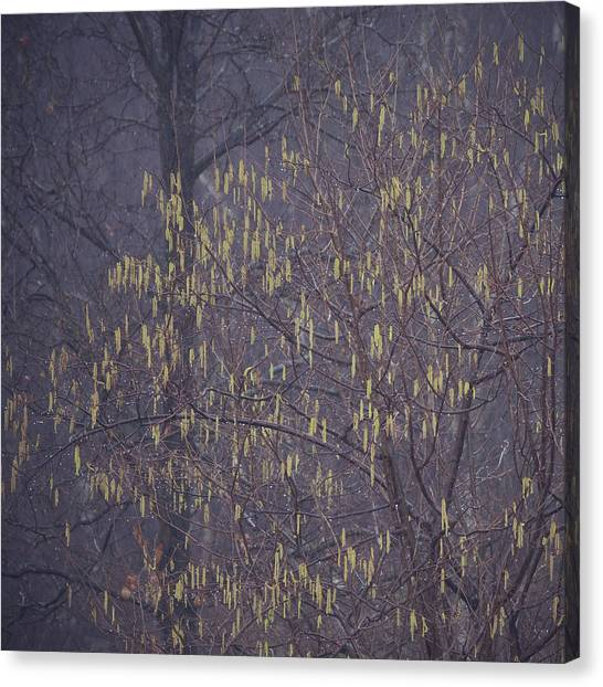 Sherwood Forest Canvas Print - Catkins by Chris Dale