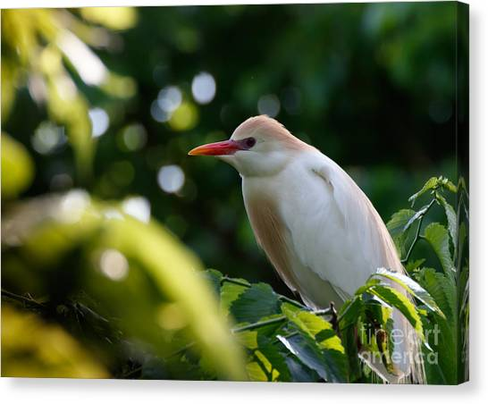 Cattle Egret In Oklahoma Canvas Print