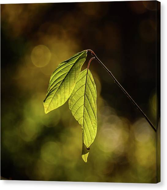 Caught In The Light Canvas Print