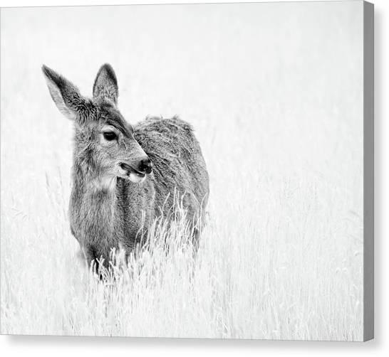 Mule Doe Canvas Print