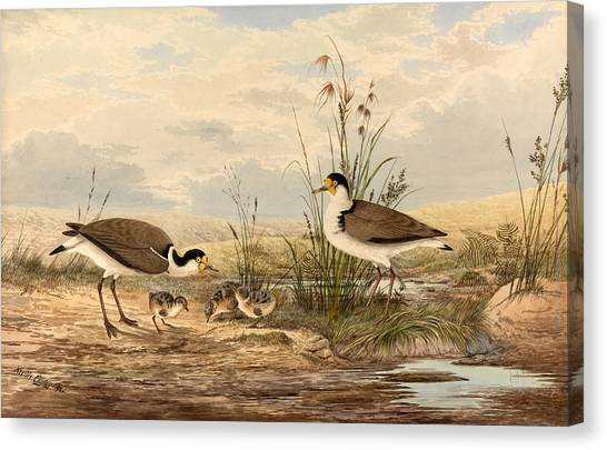 Lapwing Canvas Print - Cayley Masked Lapwing. Vanellus Miles by Neville Henry Penniston