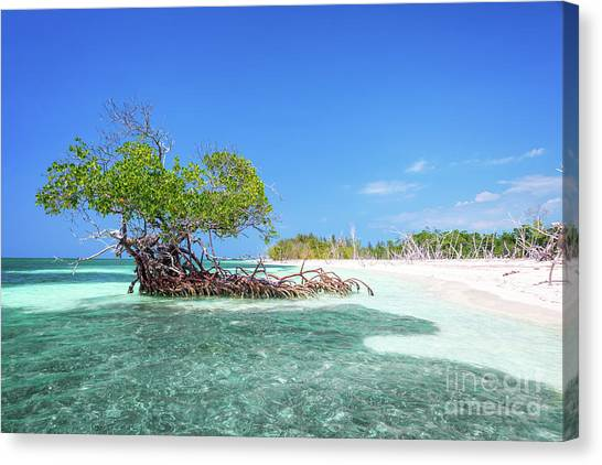 Mangrove Trees Canvas Print - Cayo Levisa by Delphimages Photo Creations