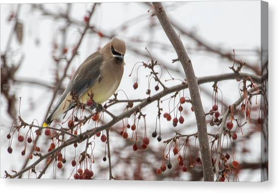 Canvas Print featuring the photograph Cedar Wax Wing  by Betty Pauwels