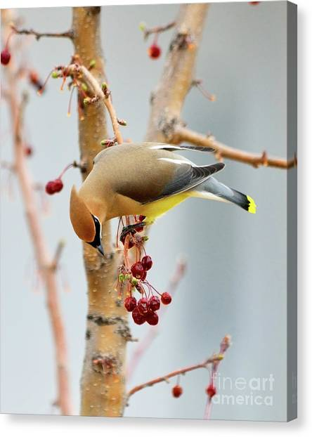 Cedar Waxwing Canvas Print - Cedar Waxwing 2 by Betty LaRue