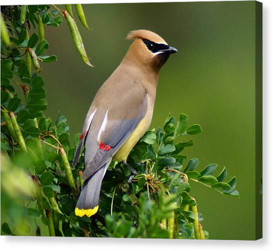 Canvas Print featuring the photograph Cedar Waxwing by Ben Upham III