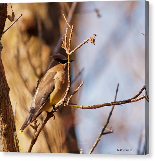 Cedar Waxwing In Autumn Canvas Print