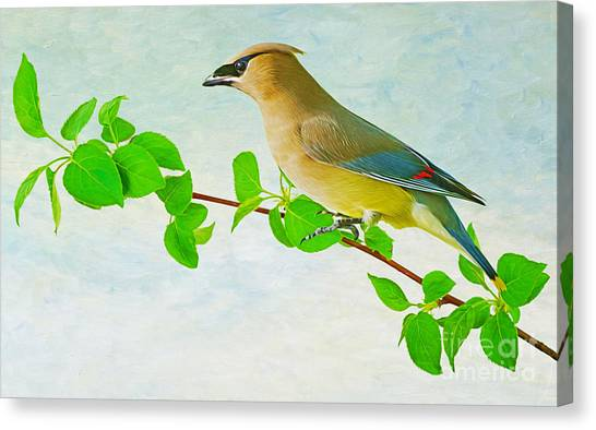 Cedar Waxwing Canvas Print - Cedar Waxwing by Laura D Young