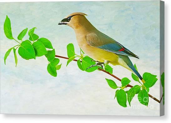 Cedar Waxwing Canvas Print - Cedar Waxwing by Laura D Young