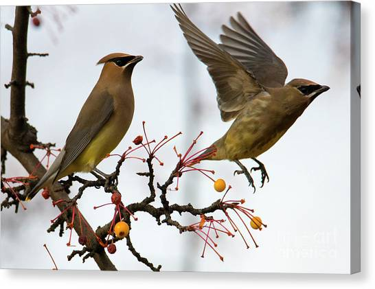 Cedar Waxwing Canvas Print - Cedar Waxwing Pair by Mike Dawson