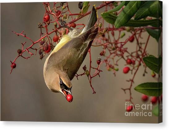 Cedar Waxwing With Toyon Berry Canvas Print