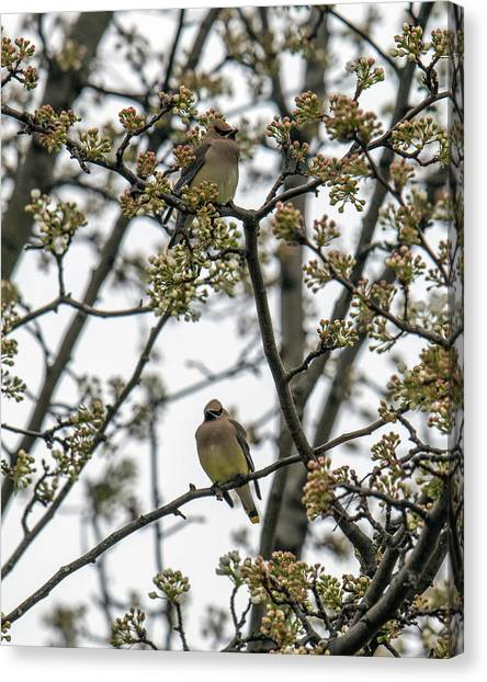Cedar Waxwings In A Blossoming Tree Canvas Print
