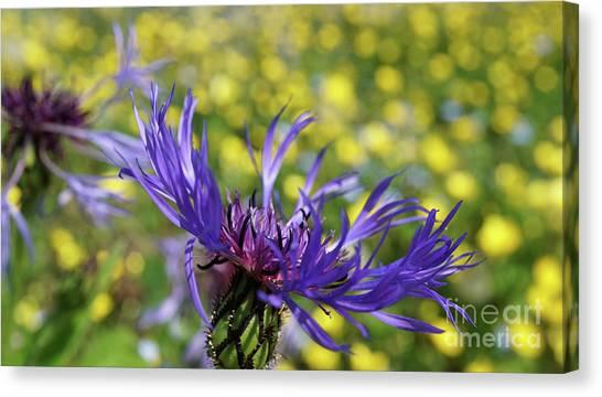 Centaurea Montana Flower Canvas Print