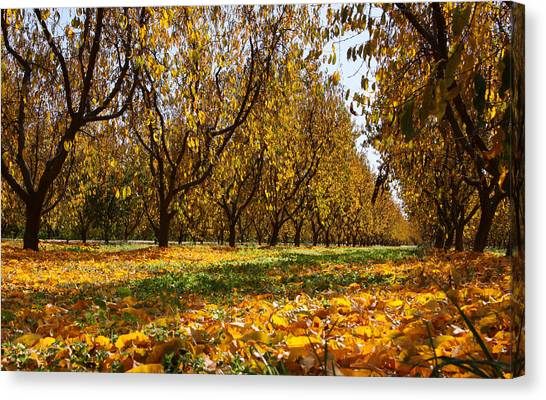 Ceres Orchard - Fall Canvas Print by Stephen Bonrepos