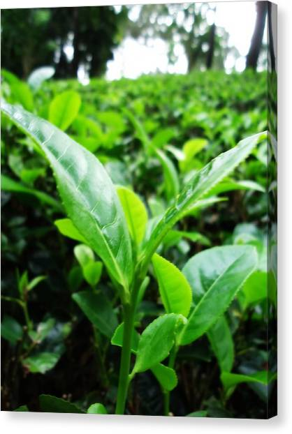 Tea Leaves Canvas Print - Ceylon Tea by Pasindu Lakruwan