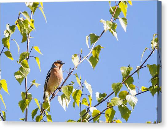 Finch Canvas Print - Chaffinch by Chris Dale