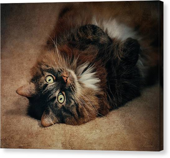 Main Coons Canvas Print - Champagne - My Lazy Main Coon Cat by Maria Angelica Maira