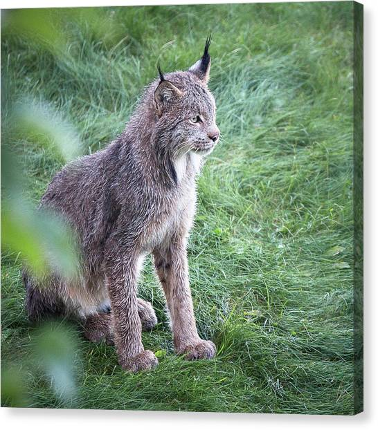 Champion Mama Lynx Canvas Print