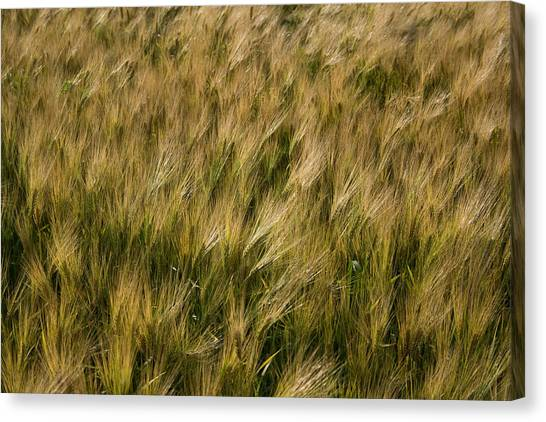 Canvas Print featuring the photograph Changing Wheat by Dylan Punke