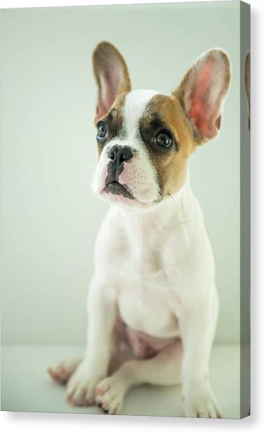 French Bull Dogs Canvas Print - Charles Kensington by William Carson Jr