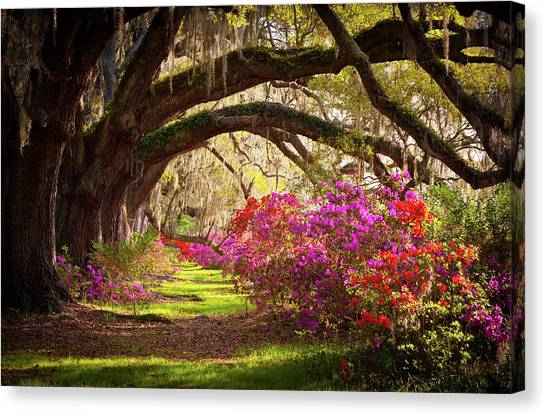 Charleston Sc Magnolia Plantation Gardens - Memory Lane Canvas Print