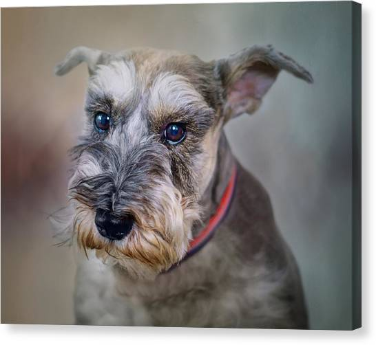Schnauzers Canvas Print - Charlie - Dog Portrait - Schnauzer by Nikolyn McDonald