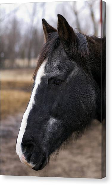 Charlie Head Study Canvas Print by Laurie With