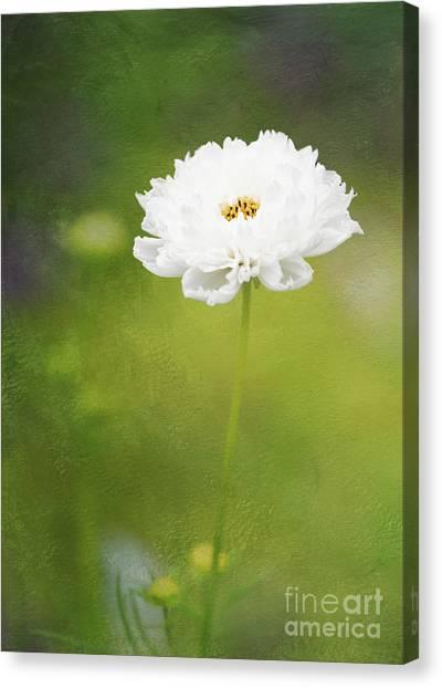 Charming White Cosmos Canvas Print