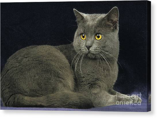 Chartreuxes Canvas Print - Chartreux Cat by Gerard Lacz
