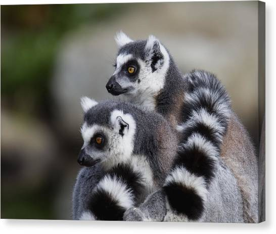 Ring Tailed Lemur Canvas Print - Check That Out by Randy Hall