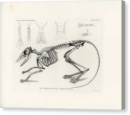 Checkered Elephant Shrew Skeleton Canvas Print