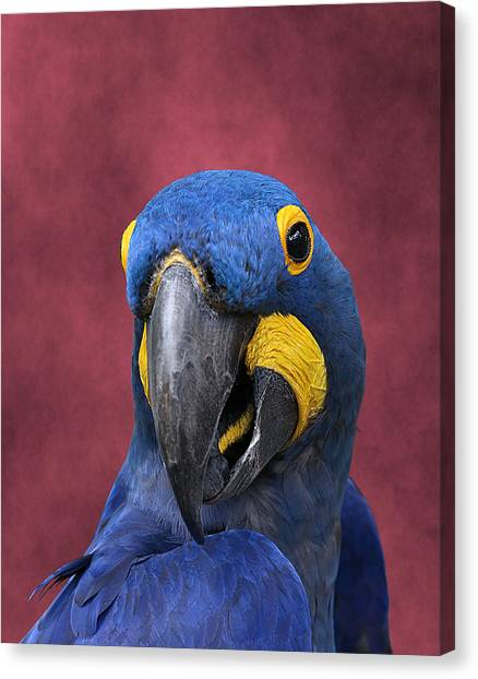 Cheeky Macaw Canvas Print