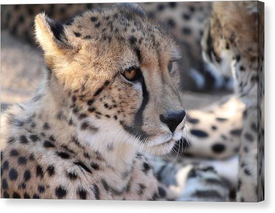 Cheetah And Friends Canvas Print