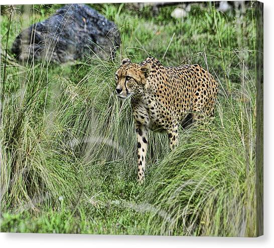 Cheetah Hunting Canvas Print