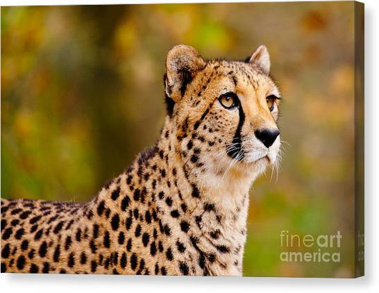 Cheetah In A Forest Canvas Print