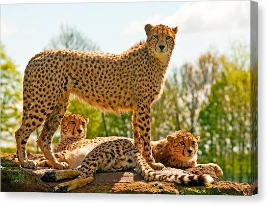 Cheetahs Three Canvas Print