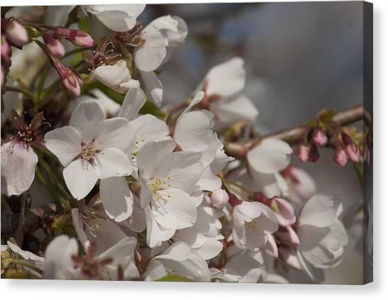 Cherry Blossom 1 Canvas Print